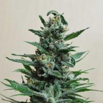Moscow Blue Berry Auto