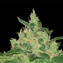 Best Seller - Afghan Kush