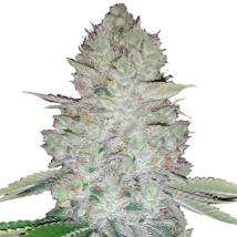 Gorilla Glue Auto Cannabis Seeds