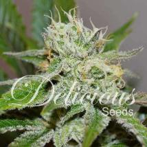 Delicious Seeds Original Juan Herer