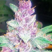 Grape Kush
