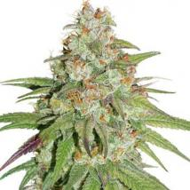 Best Seller - Glueberry OG