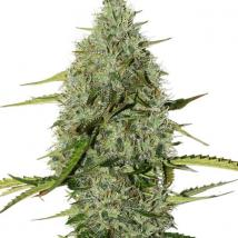 BCN Critical XXL Auto Cannabis Seeds