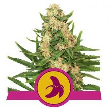 Fat Banana Cannabis Seeds