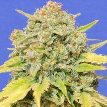 Cannabis Seeds Online | Original Seeds Store
