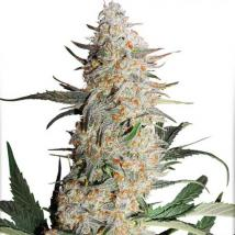 Critical Orange Punch Cannabis Seeds