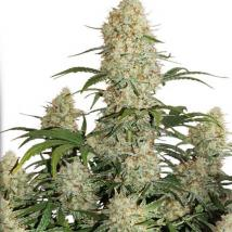 Auto Critical Orange Punch Cannabis Seeds