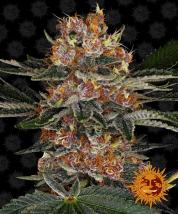 Purple Punch Auto Cannabis Seeds