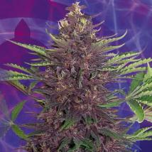 Best Seller - Purple Kush
