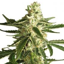 Tugy D Diesel Auto