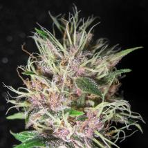 Best Seller - Homegrown Purple