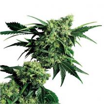 Best Seller - Mr Nice G13 x Hash Plant