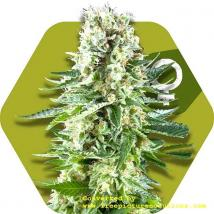 Best Seller - White Widow XL