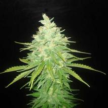 Best Seller - Afghan Kush x Black Domina