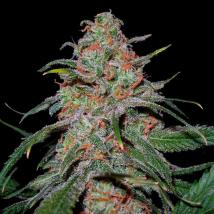 Best Seller - Lemon Skunk