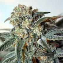 Best Seller - Zombie Kush