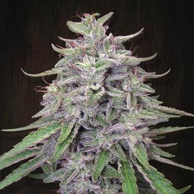 Buy Ace Seeds Bangi Haze REG