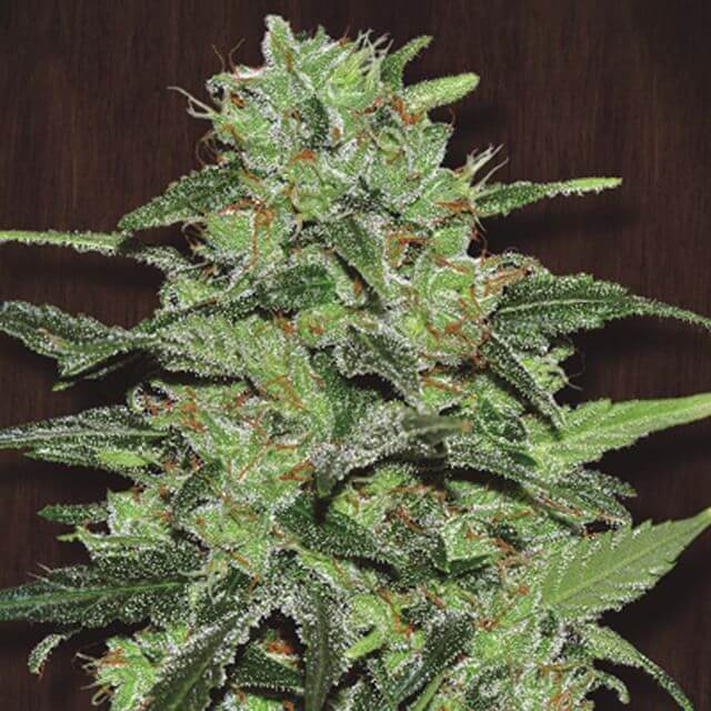 Buy Ace Seeds Malawi REG