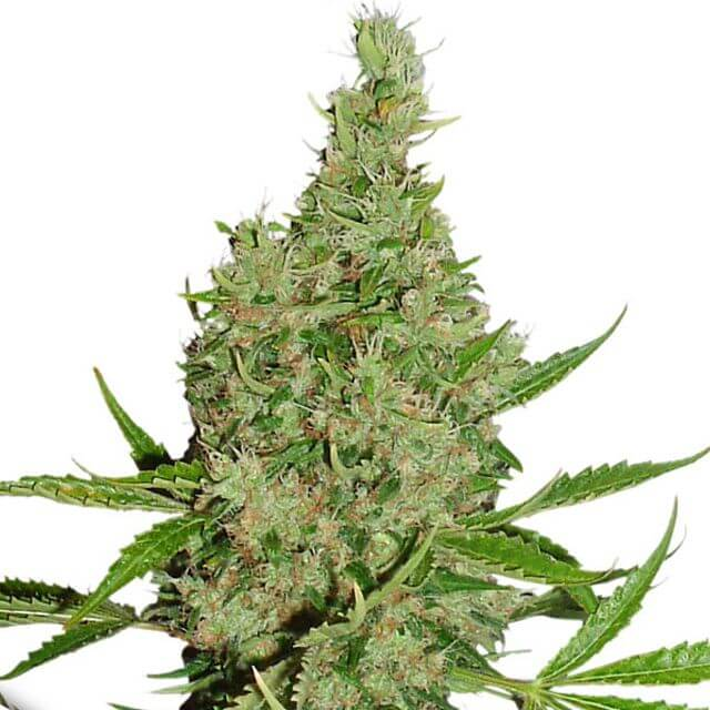 Buy Dutch Passion Seeds White Widow x The Ultimate REG