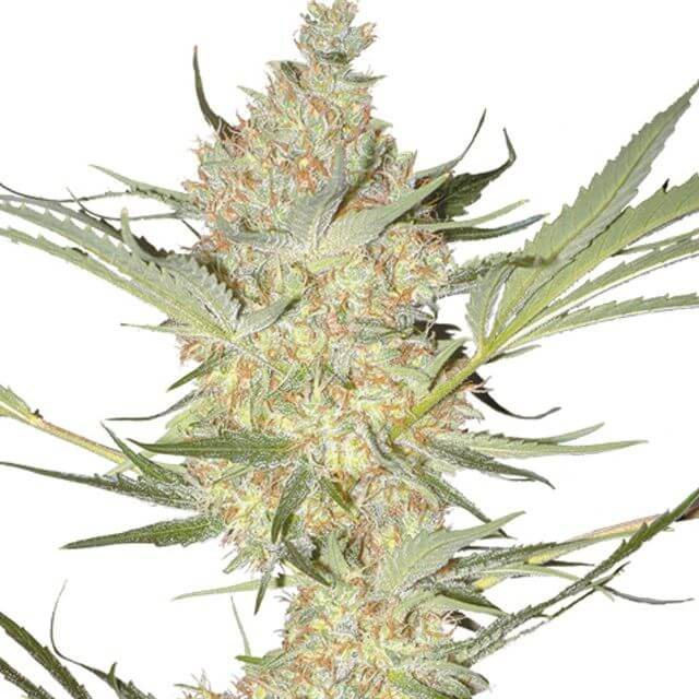 Buy Homegrown Fantaseeds  The Real Mc Coy REG