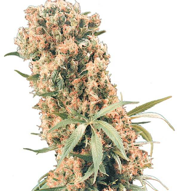 Buy The Flying Dutchmen Seeds The Pure REG