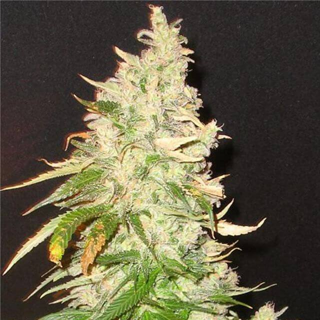 Buy Homegrown Fantaseeds  Northern Soul FEM