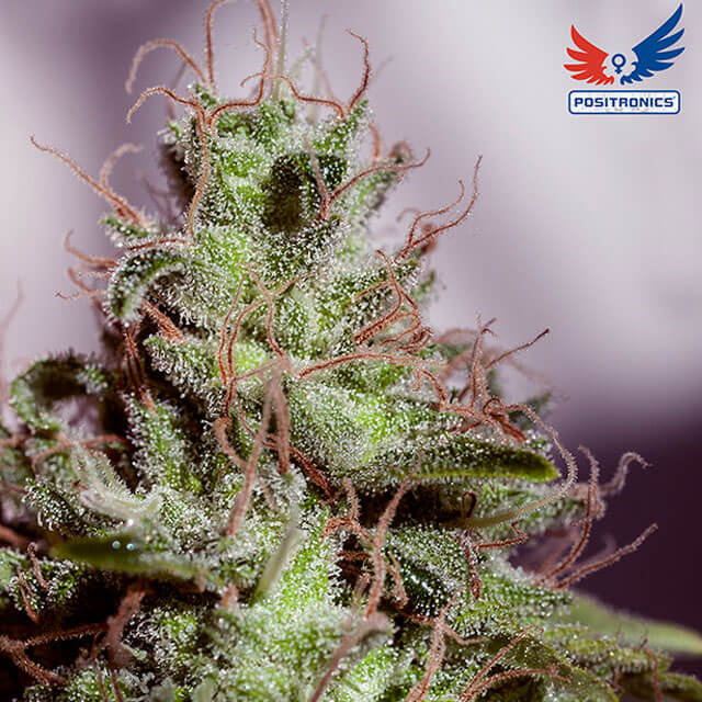 Buy Positronics Seeds Super Cheese Express FEM
