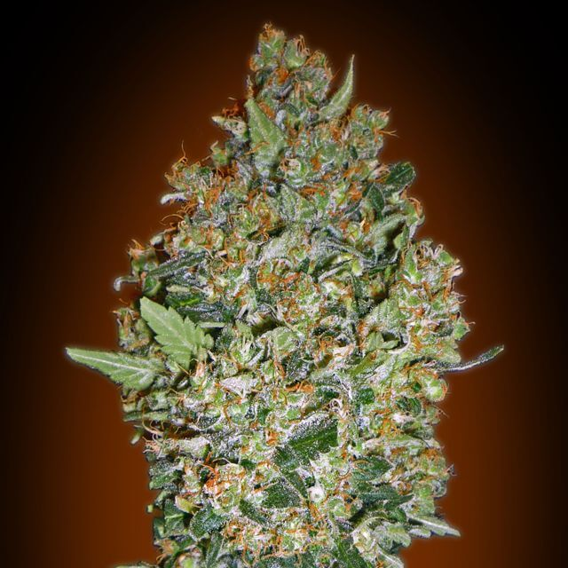 Buy 00 Seeds Feminized Collection #1 FEM
