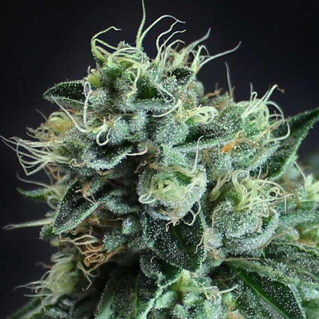 Buy Subcool's The Dank Seeds Jesus OG  REG
