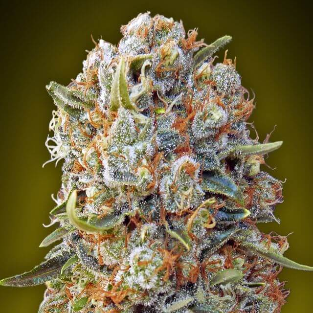 Buy 00 Seeds Sweet Critical FEM