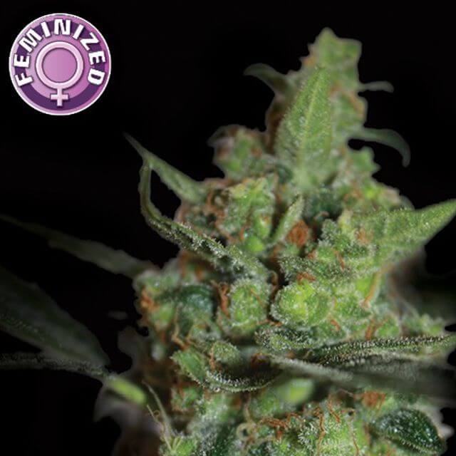Buy Kera Seeds California Nugget FEM