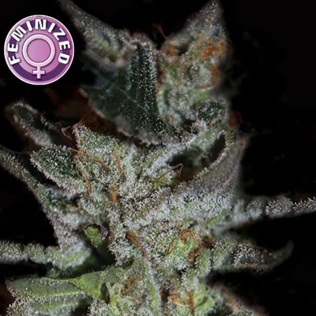 Buy De Sjamaan Seeds  LA Widow FEM