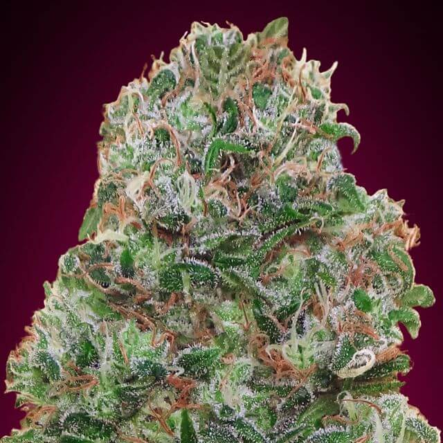 Buy 00 Seeds Bubblegum FEM