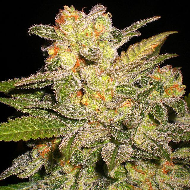 Buy G13 Labs Seeds NL Automatic FEM