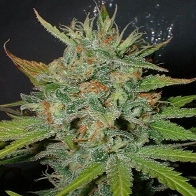 Buy Homegrown Fantaseeds Afghani REG