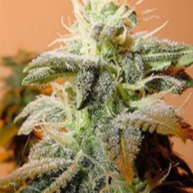 Buy Female Seeds Indoor Mix FEM