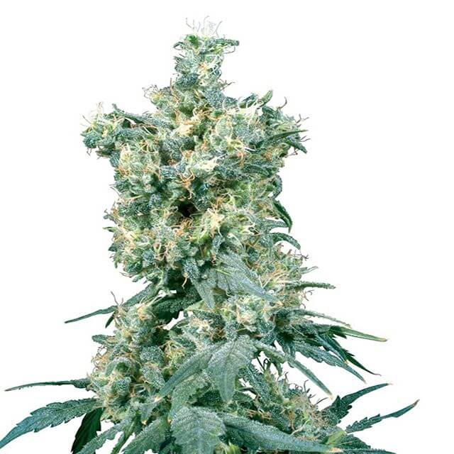 Buy Sensi Seeds American Dream REG