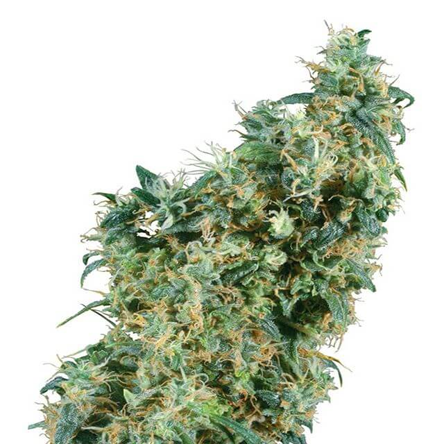 Buy Sensi Seeds First Lady REG