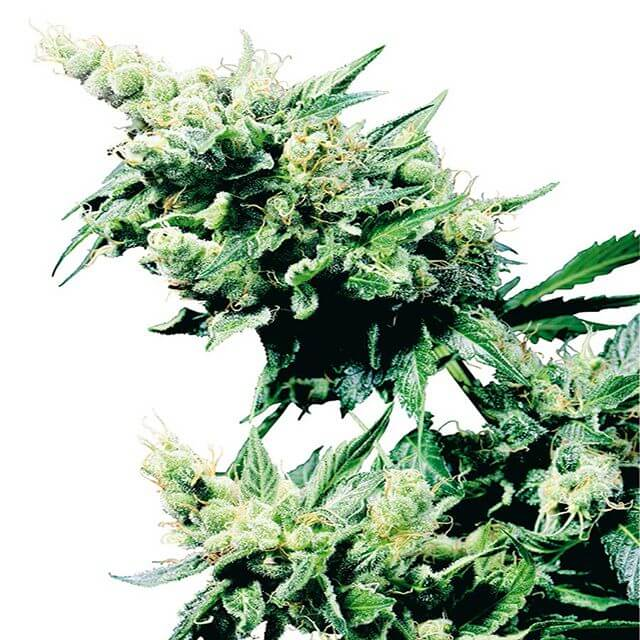 Buy Sensi Seeds Hash Plant REG