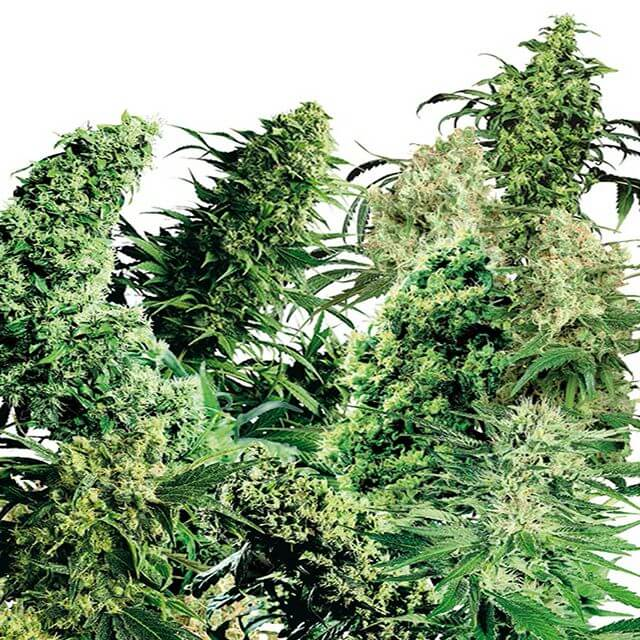 Buy Sensi Seeds Indoor Mix REG