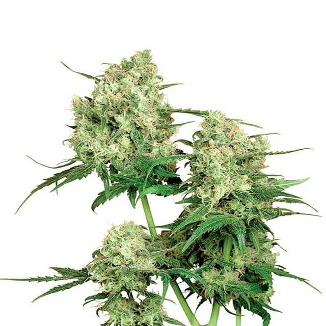 Buy Sensi Seeds Maple Leaf Indica REG