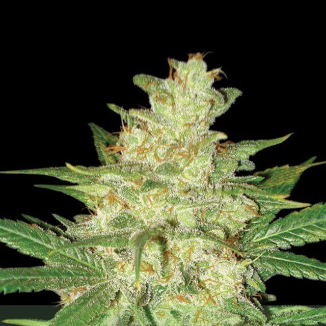 Buy World of Seeds Sweet Coffee Ryder FEM