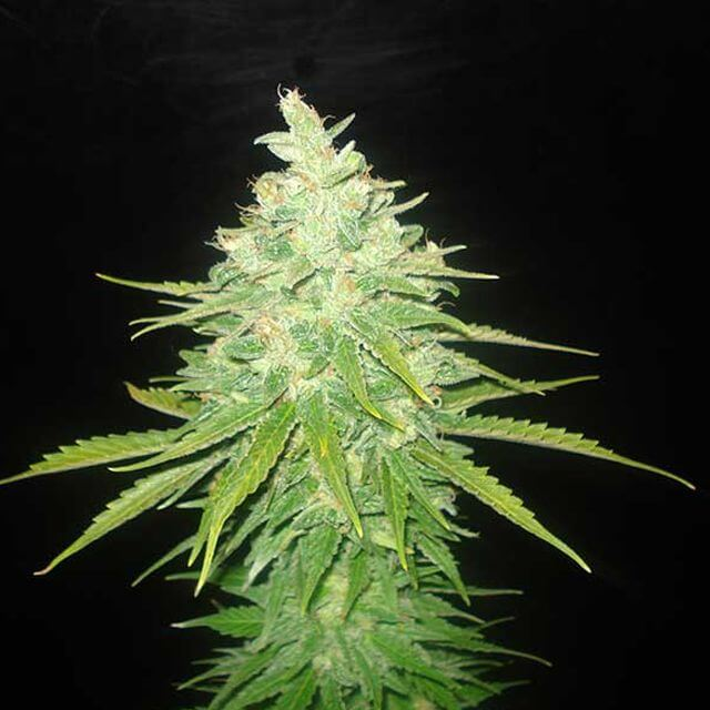 Buy World of Seeds Afghan Kush x Black Domina FEM