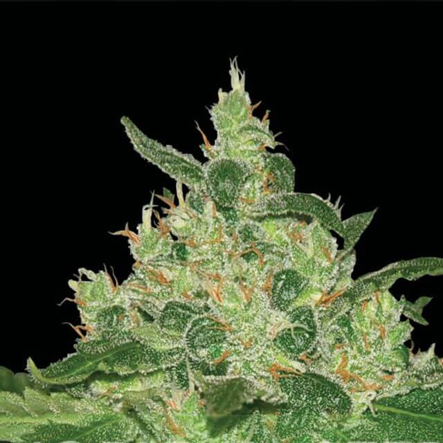 Buy World of Seeds Afghan Kush REG