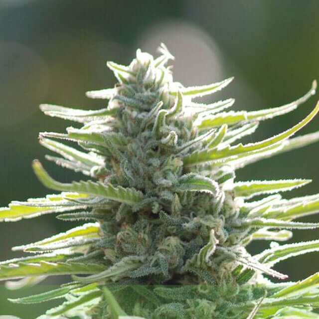 Buy World of Seeds Colombian Gold REG