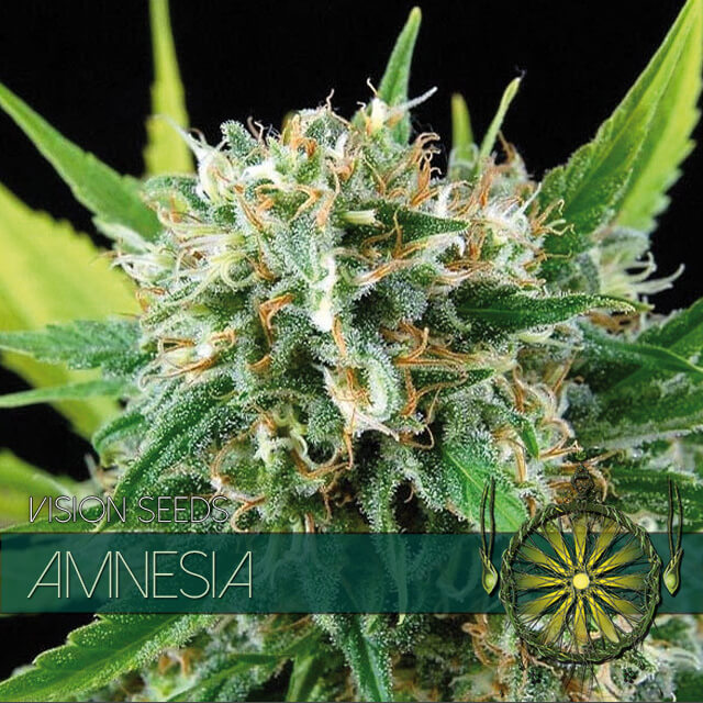 Buy Kiwi Seeds  Amnesia FEM