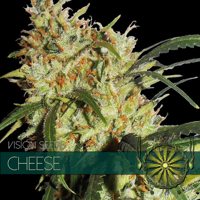 Buy Vision Seeds  Cheese FEM