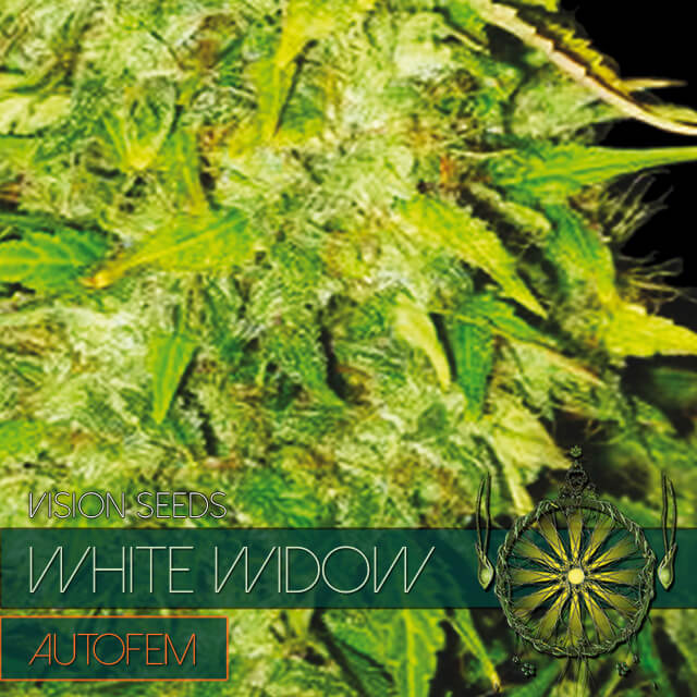 Buy Vision Seeds  White Widow Auto FEM