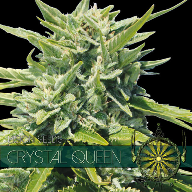 Buy Vision Seeds  Crystal Queen FEM