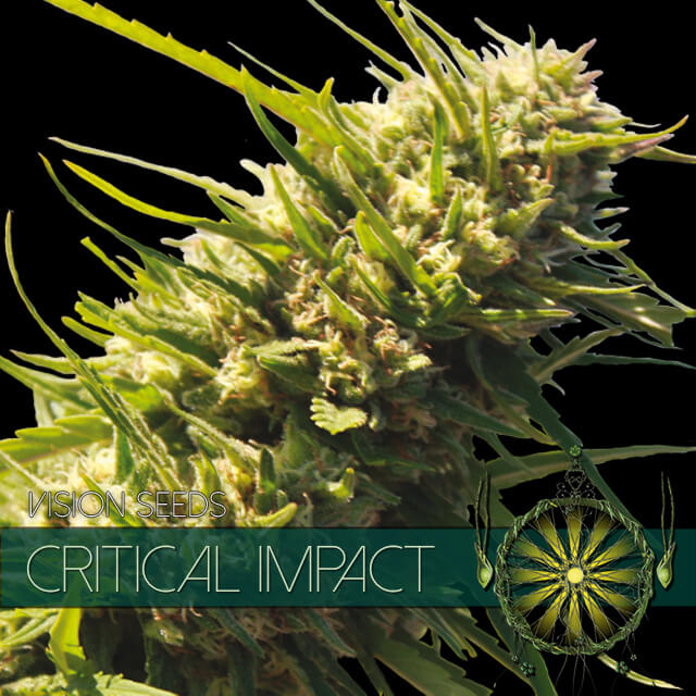 Buy Vision Seeds  Critical Impact FEM